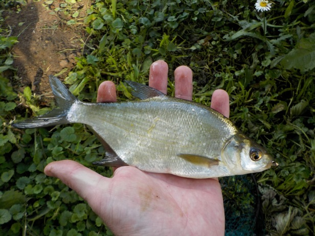 Common Bream, Abramis brama