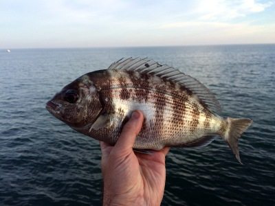 Black Bream, Spondyliosoma cantharus